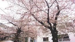 2017桜.jpg