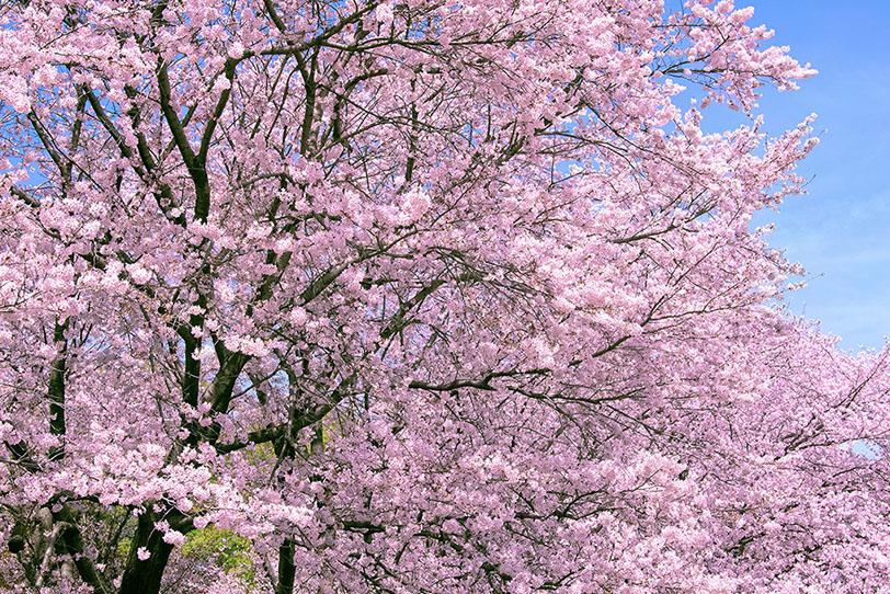 cherry-blossom_00026.jpg